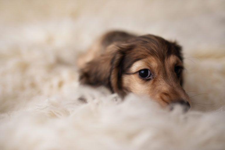 Toronto Dog Photographer Adorable Dachshund Puppy Photoshoot Idea Pawsh Magazine In 2020 Dog Photograph Puppy Photography Dog Photoshoot