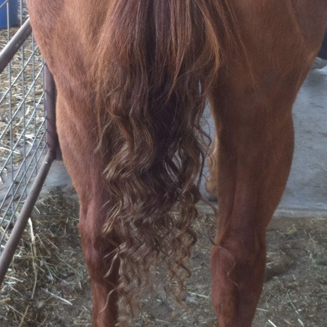 Curl Your Horses Tail Wash Your Horse With Mane N Tail And Body