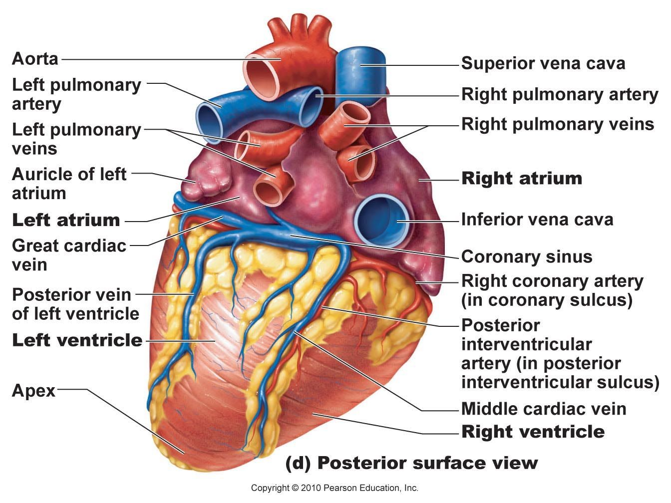 Cardiac Arteries Diagram 6 Pin Trailer Plug Wiring Australia Heart Posterior Artery And Veins A Andp Anatomy