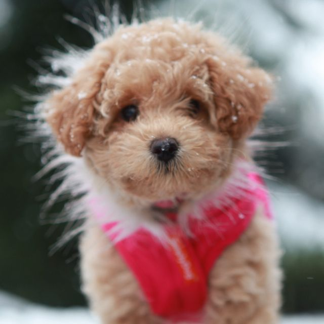 Munchkin Poochon Puppies Cute Dogs Cute Creatures