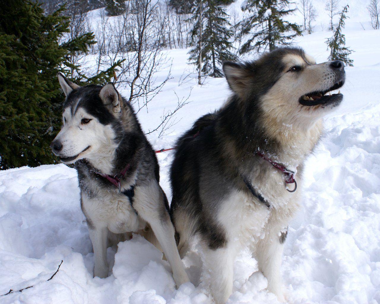 Alaskan Malamute Dog Photo Alaskan Malamute Wallpapers Pictures