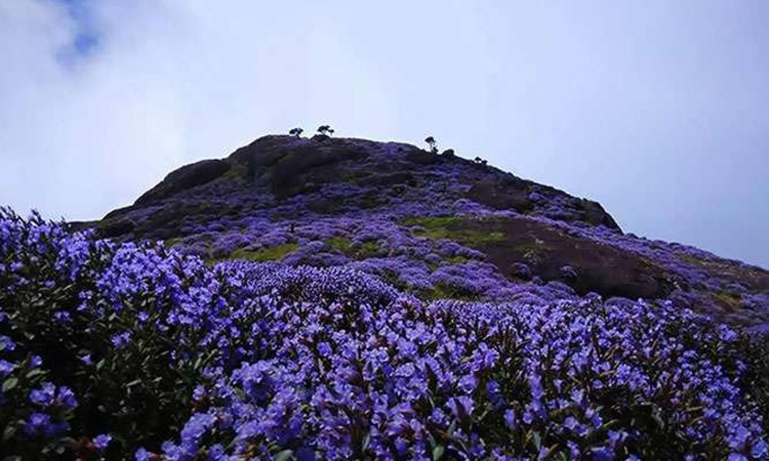 Image result for neelakurinji stock photos