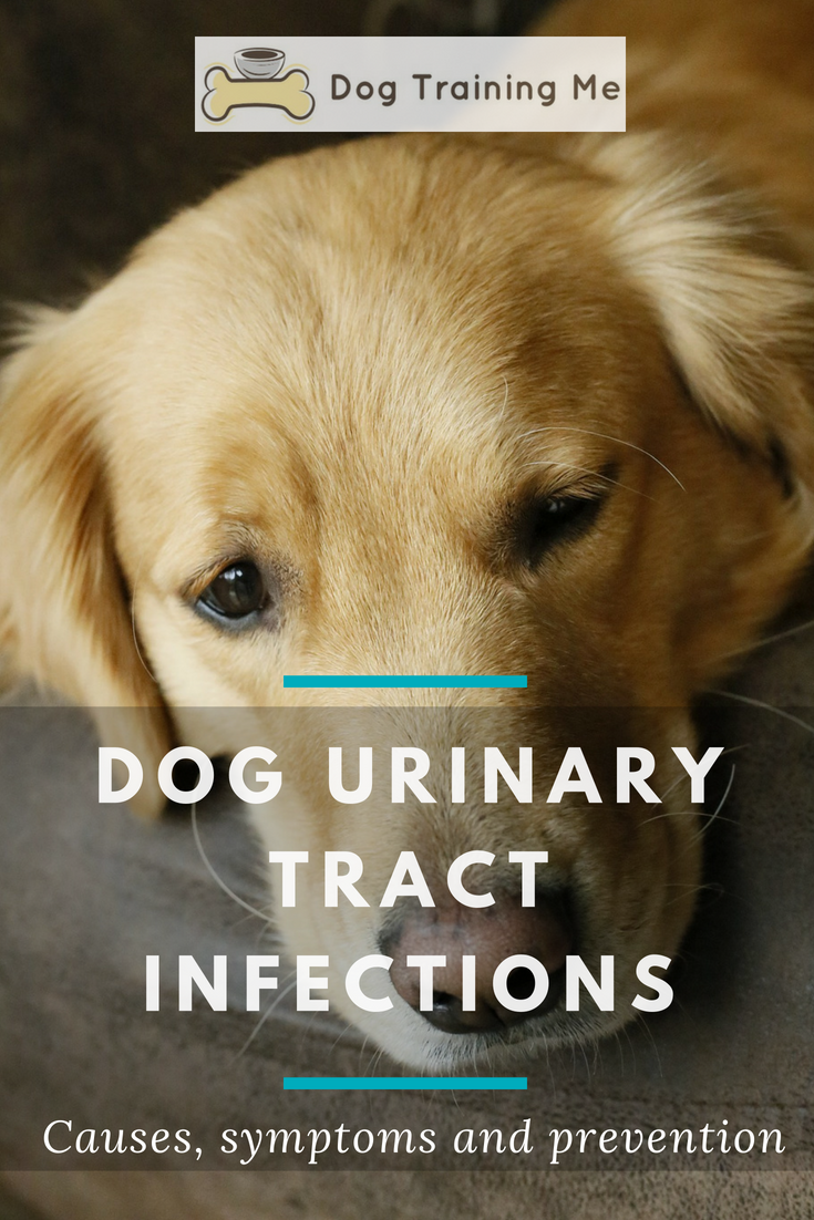 Find Out How To Prevent And Treat Dog Urinary Tract Infection Canine Uti Is A Common Problem We Tell You What You Ca Dog Uti Dog Remedies Dog Health Problems