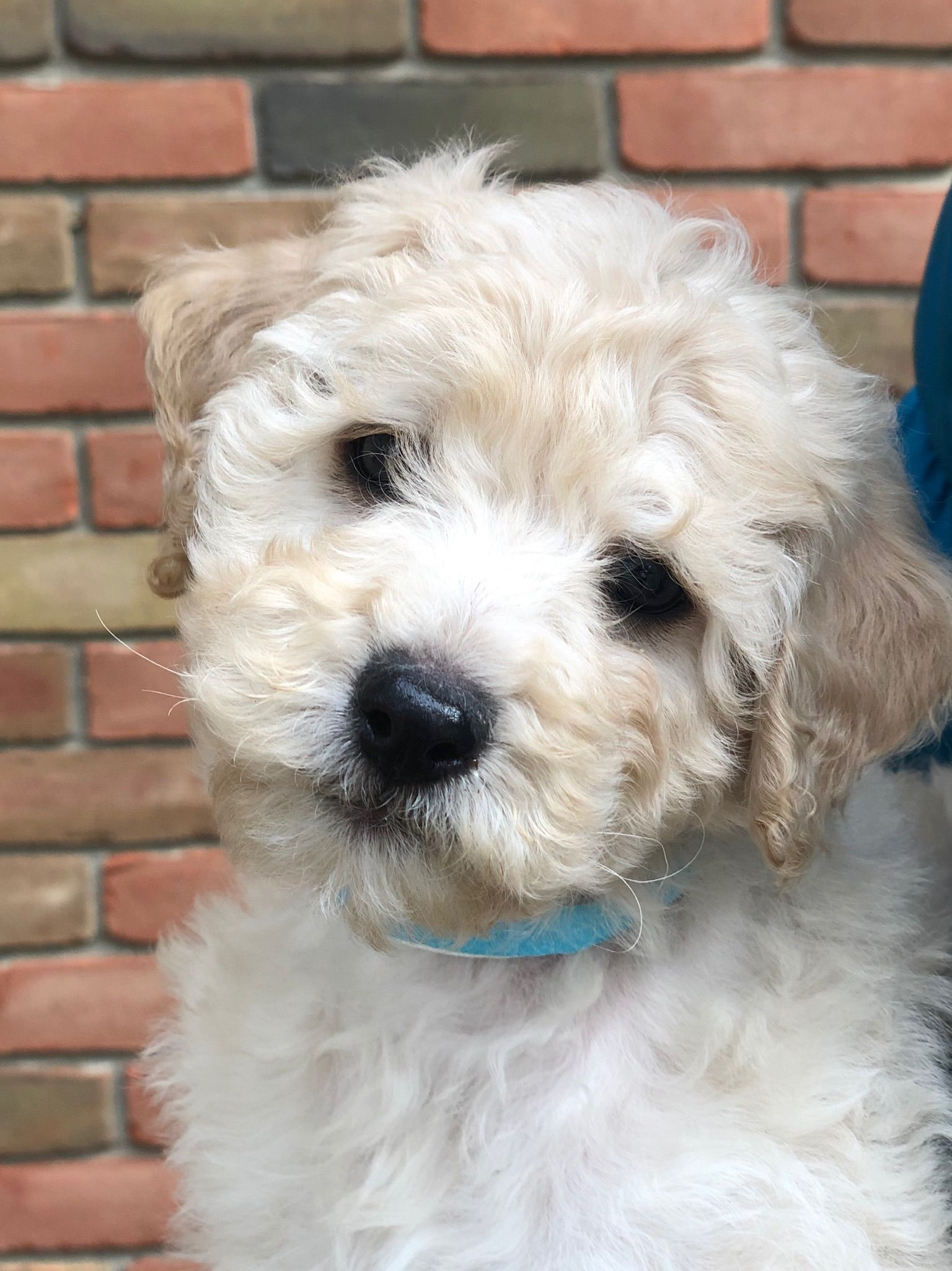 Cockapoolove Cockapoo Pups Are Sweet And Loving Companions That Are Sure To Brighten Your Snowy Winterdays In 2020 Cockapoo Puppies Cockapoo Cockapoo Breeders