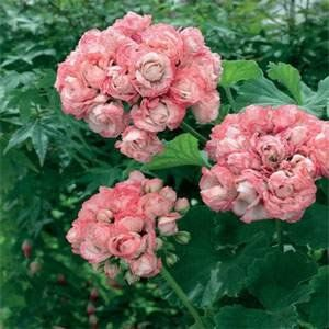 20 Pcs Seeds Rare Geranium Bonsai Apple Blossom Rosebud Pelargonium Hortorum RK