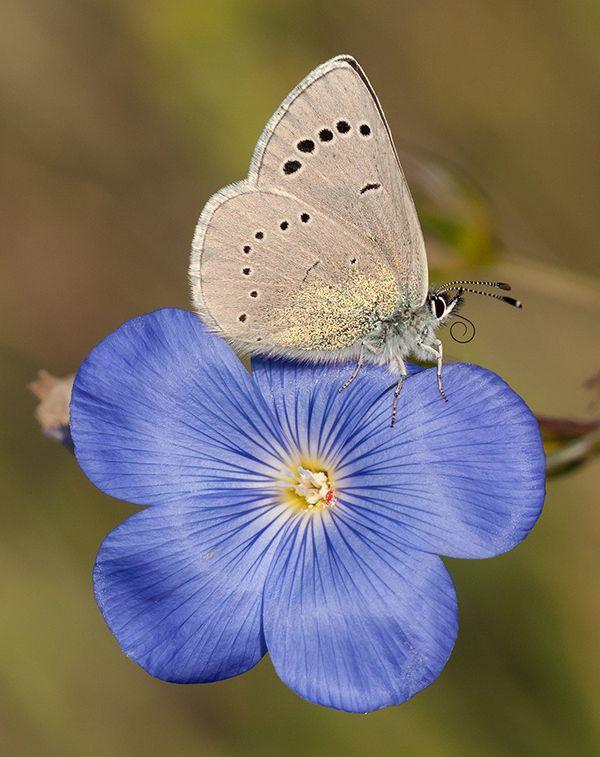 Glaucopsyche alexis butterfly found in la sierra de Gúdar (Teruel), Spain