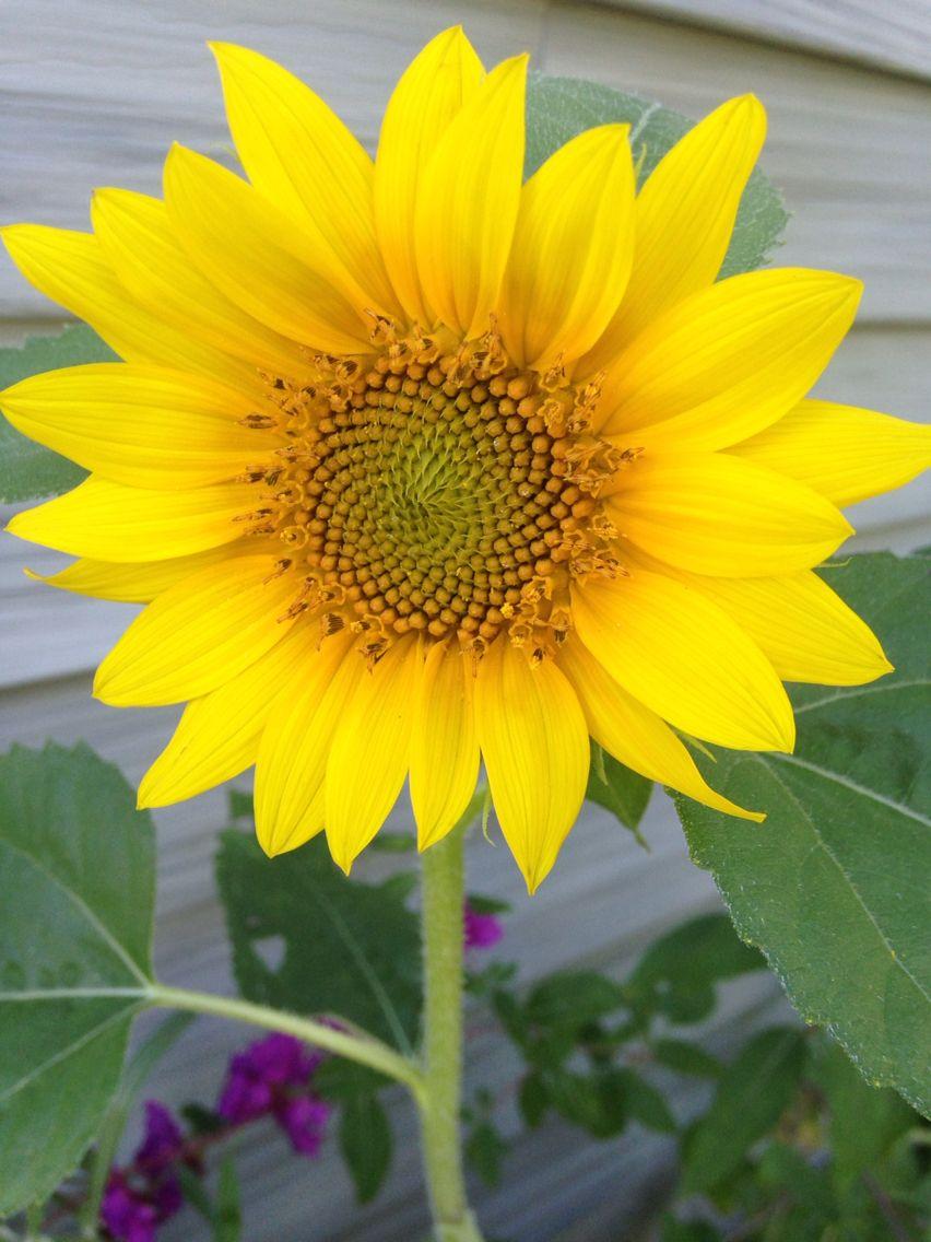 Grow Little Sunflower Sunflower Plants Flowers