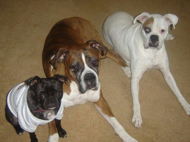 Boxers Boxer dogs, Cute puppies, Boxer