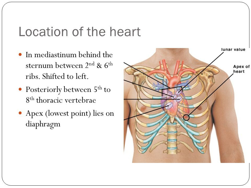 Image Result For Posterior Thorax Heart Anatomy Pinterest