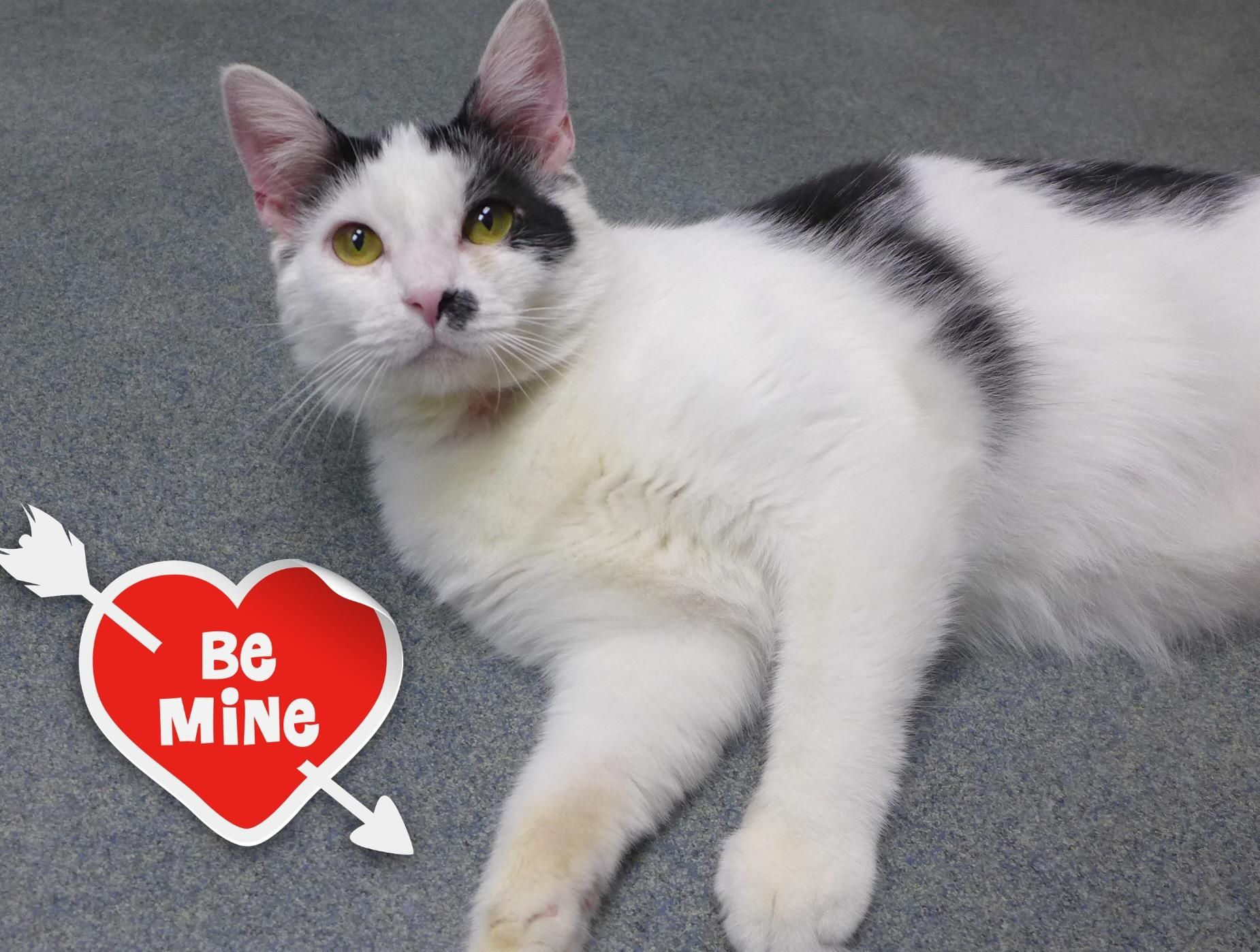 Adopt Chaplin 32103286 on (With images) Cat adoption