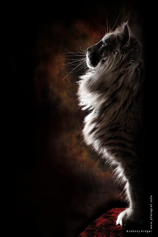 Norwegian Forest Cat posing like a war god statue or a nordic sphinx    by   Johnny Krüger