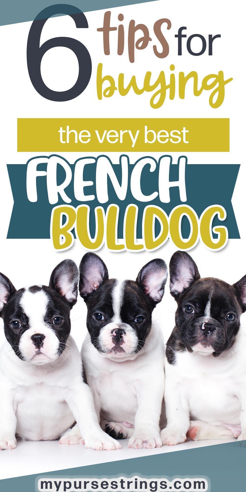 When Buying A French Bulldog Isn T So Easy French Bulldog