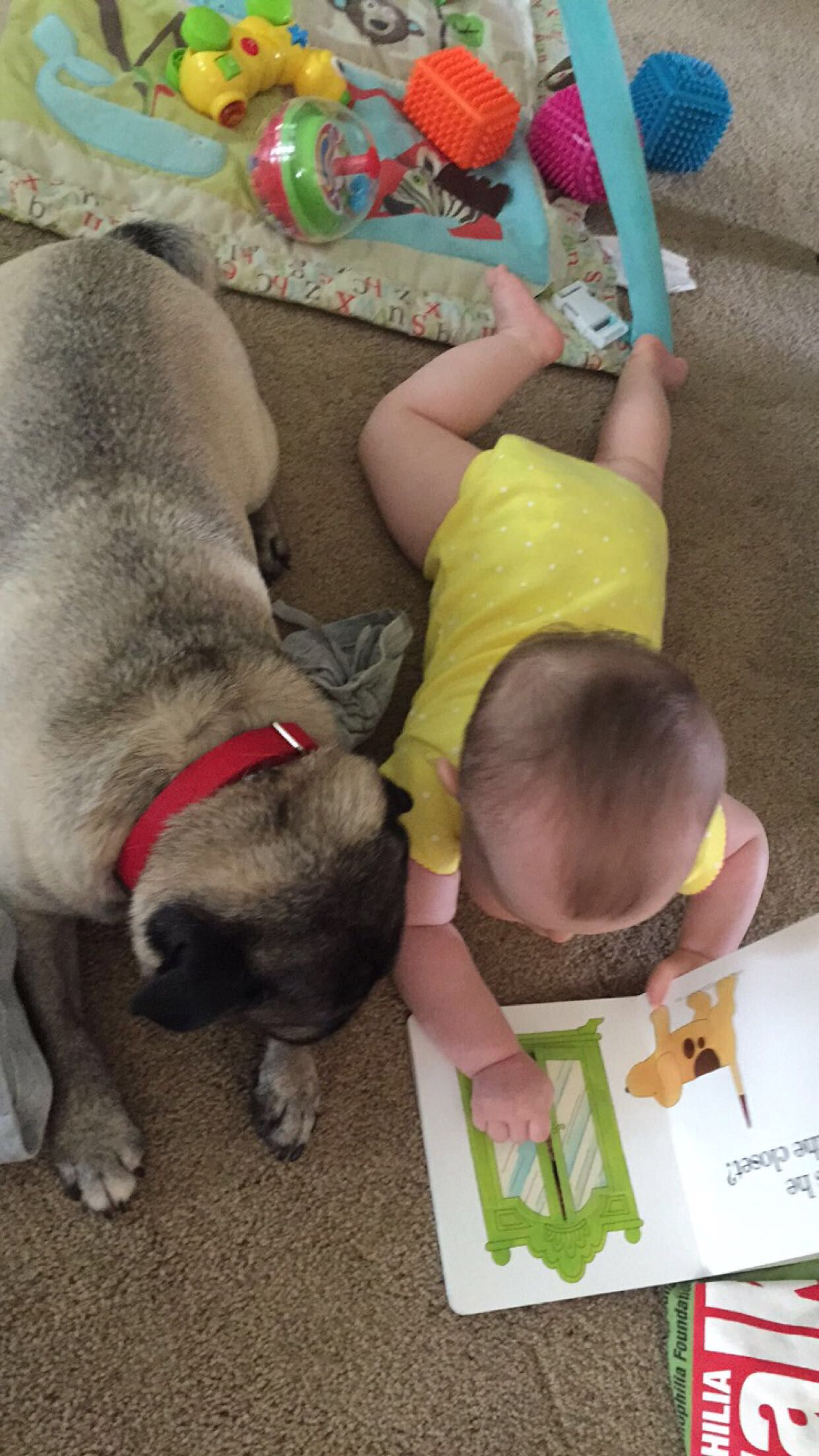 Pug and baby sister best friends