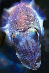cuttlefish... coolest animal ever! And my favorite fish!