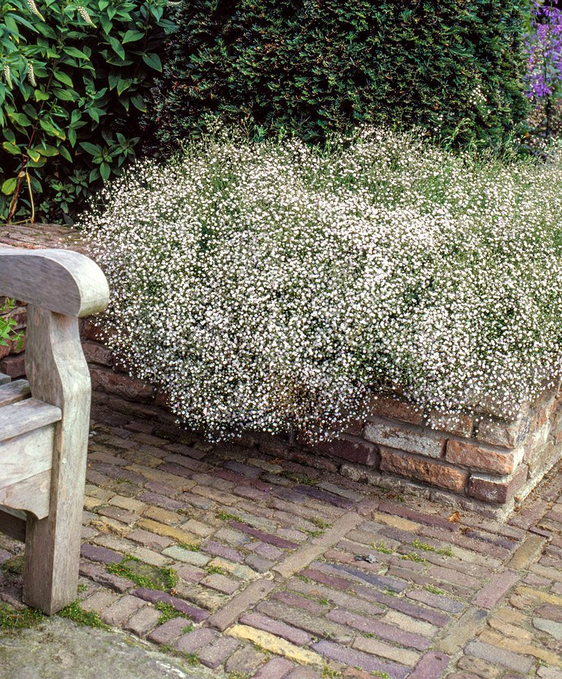Gipskruid Planten Bakker Hillegom Baby S Breath Plant Gypsophila Dog Safe Plants