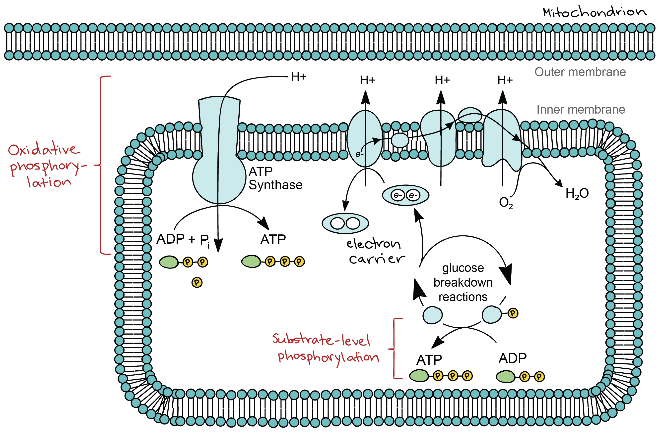 Introduction to cellular respiration and redox