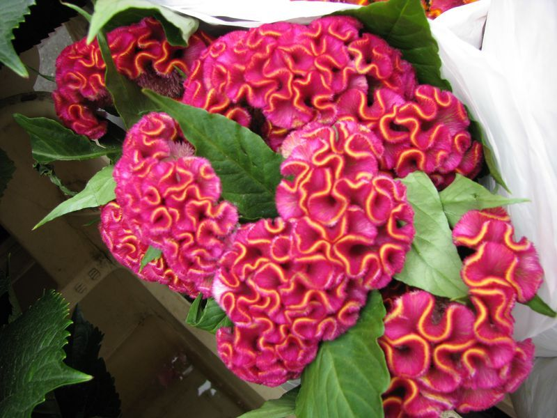 Flower Identification 101 Cockscomb Fall Plants Coral Flowers Pretty Flowers