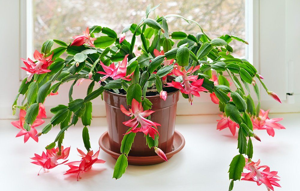 unlike many of the holiday plants christmas cactus toxicity is not damaging although it is best to train animals not to sample plants in the home
