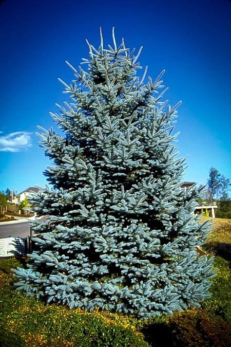 Colorado Blue Spruce Colorado Blue Spruce Blue Spruce