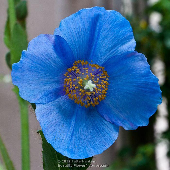Blue poppy flower power pinterest blue poppy flowers and blue poppy mightylinksfo