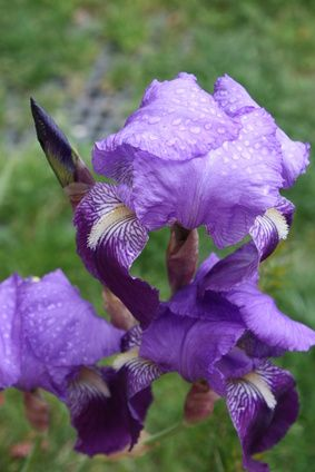 Which Irises Can You Grow In Pots Expert Advice On Growing Irises Gardening Middlesizedgarden Ga In 2020 Growing Irises Chelsea Flower Show Container Garden Design