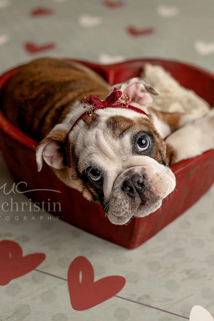 Newborn Baby Bulldogs : newborn, bulldogs, Photographer, Staged, Newborn, Shoot, English, Bulldog, Puppy,, Results, Heart, Puppies,, Puppy