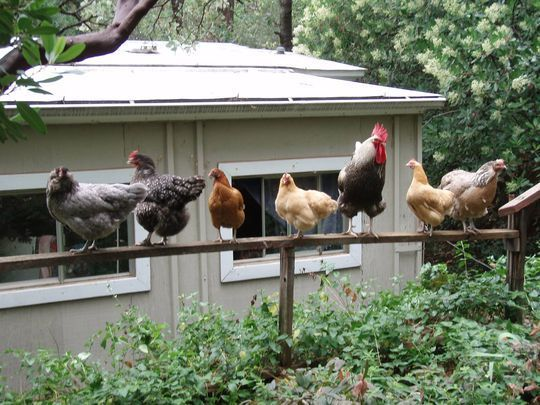 How not to get salmonella from your backyard chicken ...