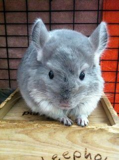 Cute chinchilla posted by Small Pet Select.