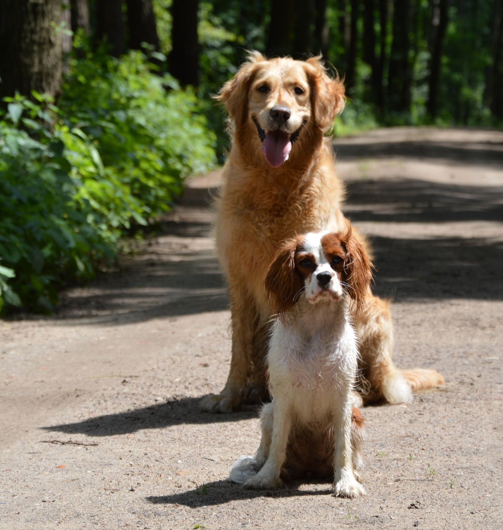 Cavelier King Charles And Golden Retriever Forever Friends