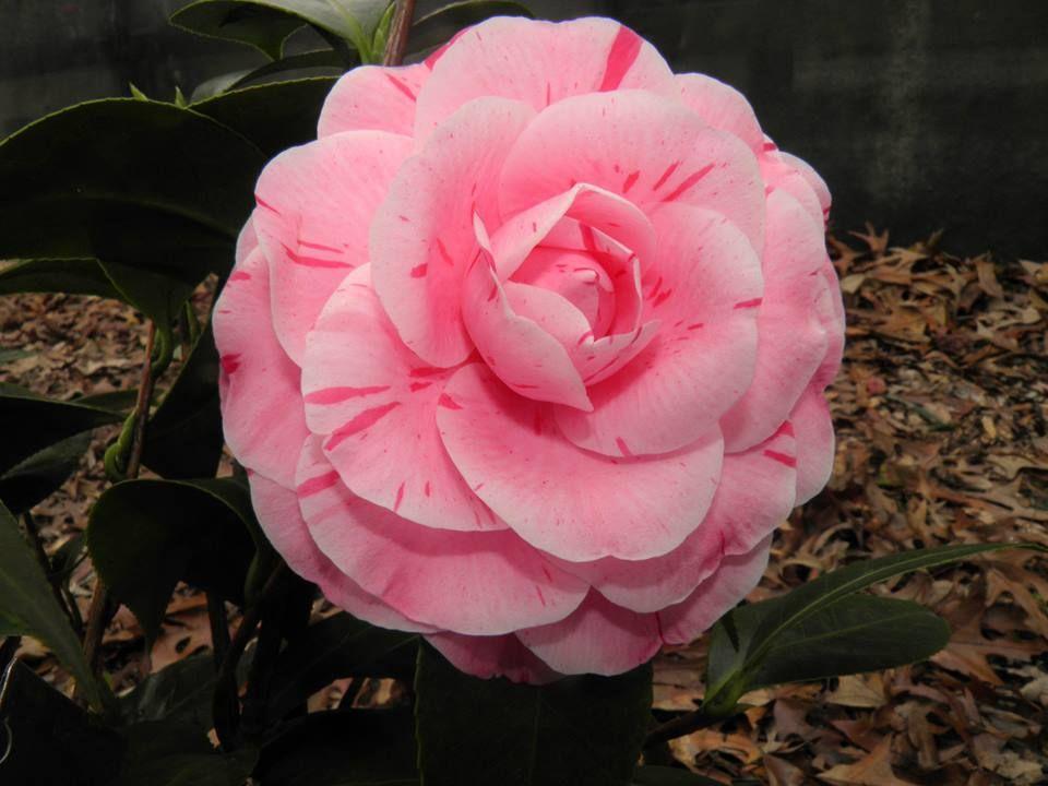 Wendell S Dream Flower Photos Camellia Flower Flower Garden
