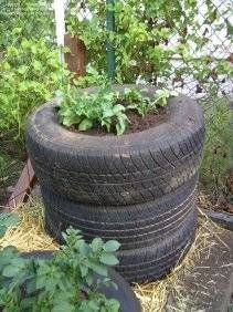 Cultivar patatas en neumáticos
