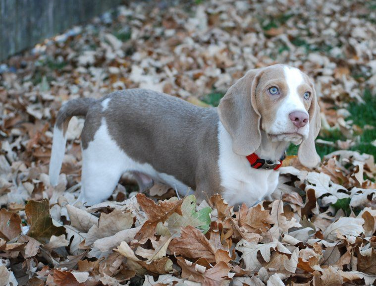Lilac Beagle With Blue Eyes Totally Sam In A Year Or So Beagle