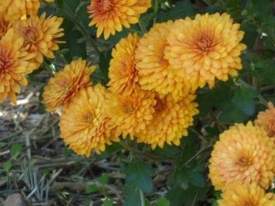 Lifespan Of Mums How Long Do Chrysanthemums Last Succulent Garden Design Mums Flowers Potted Mums