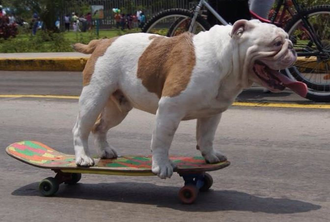What Is It With Bulldogs And Skateboards English Bulldog