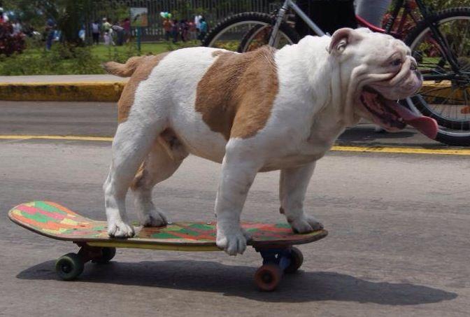 What Is It With Bulldogs And Skateboards Bulldog Skateboard Dog Love English Bulldog