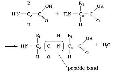 Protein polymer | Macromolecules | Biochemistry, Teachers