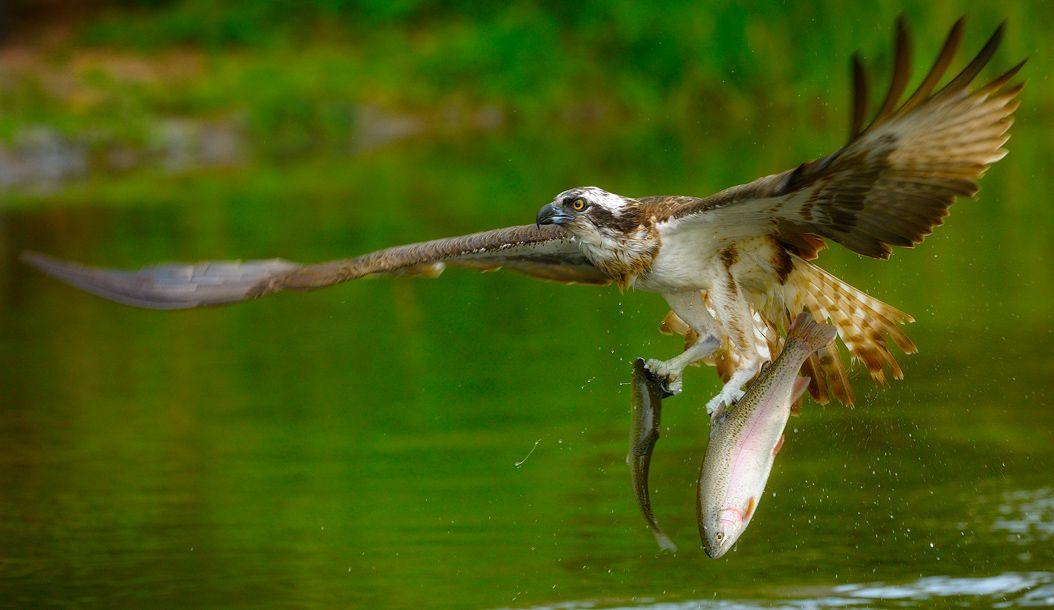 Птицы на которые охотятся картинки постояльцев разнообразят
