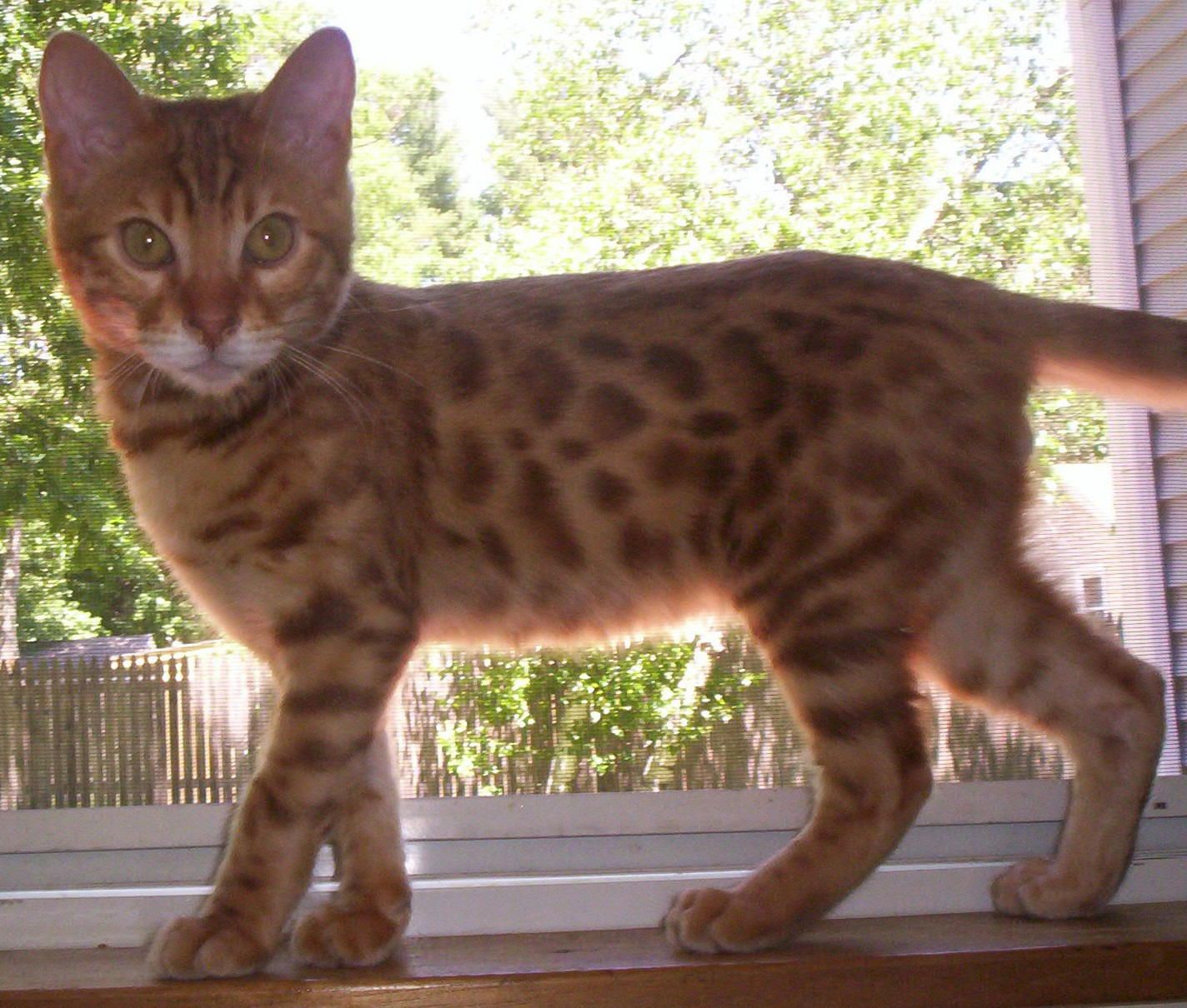 Aaa Bengals Awesome Bengal Breeder Londonderry Nh Absolutely
