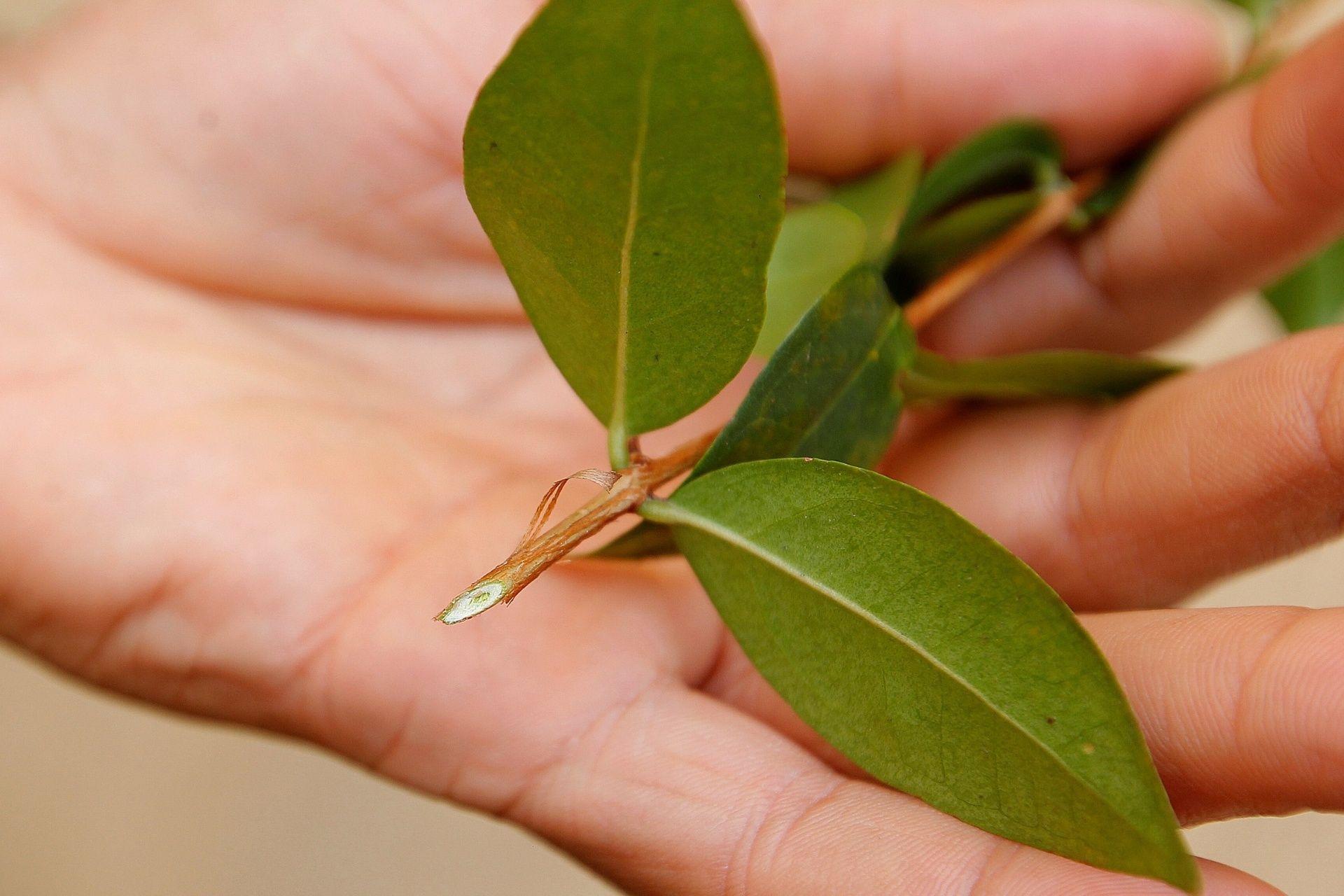 Nativa da Mata Atlântica, pitanga dá no vaso ou no jardim; plante em casa