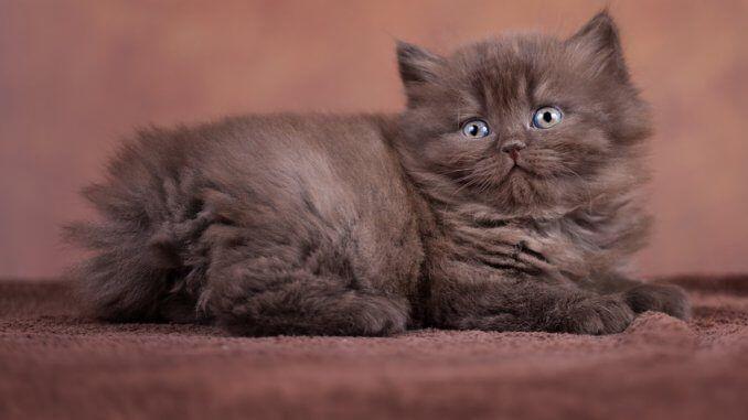 Halblanghaarkatzen Die Wurdevollen Schmusetiger Schonen Katzen
