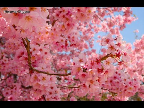 4K]TOKYO JAPAN東京•新宿御苑の満開の桜 Shinjyuku Gyoen National