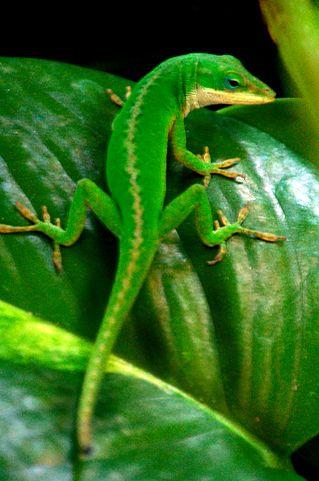 U S Lizard Green Anole Liz...