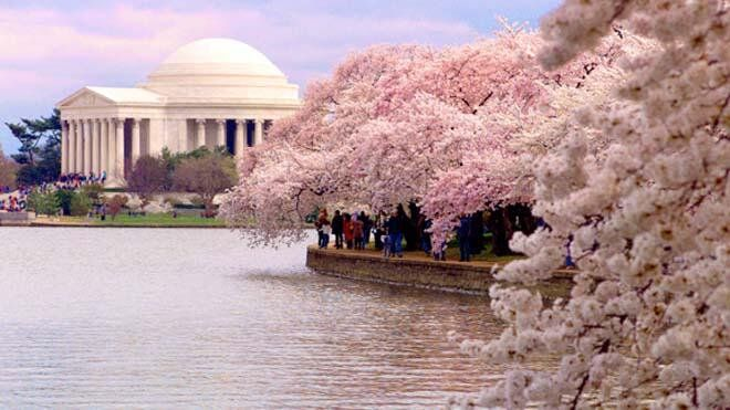 Linda On Twitter Most Beautiful Cities Cherry Blossom Festival Cherry Blossom Festival Dc