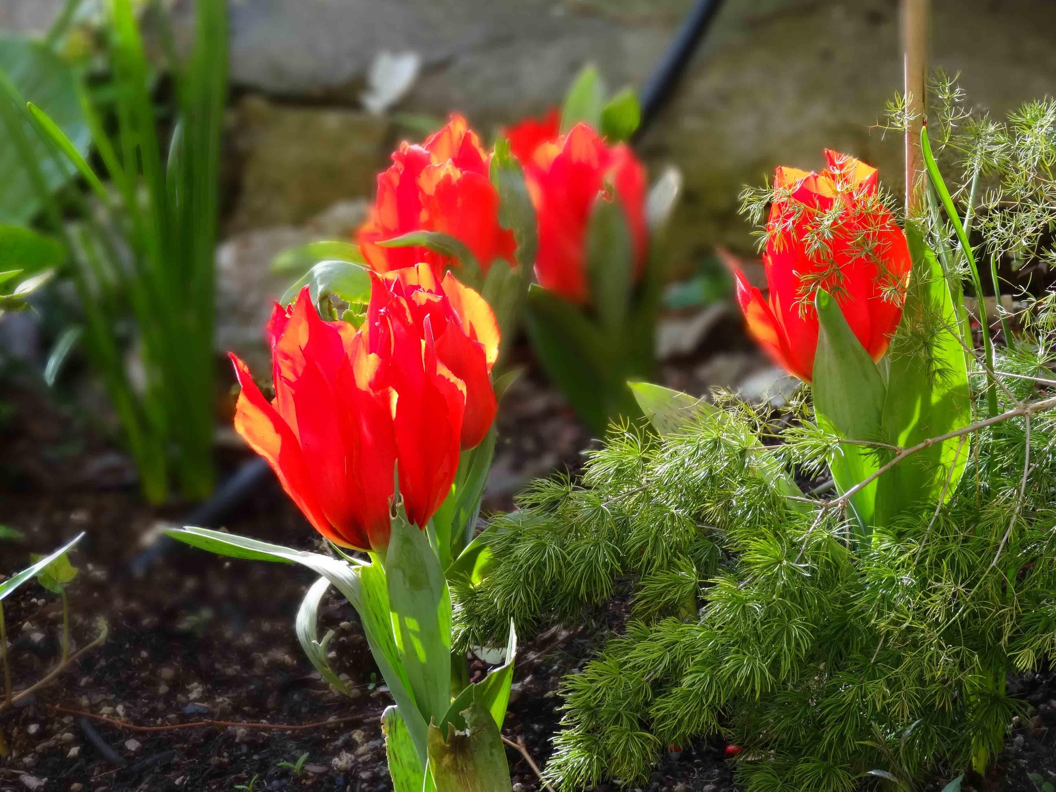 tulipani a Villa Riari