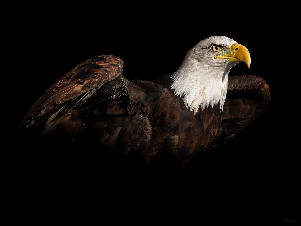 bald eagle | wild animals | pinterest | bald eagle, wild animals