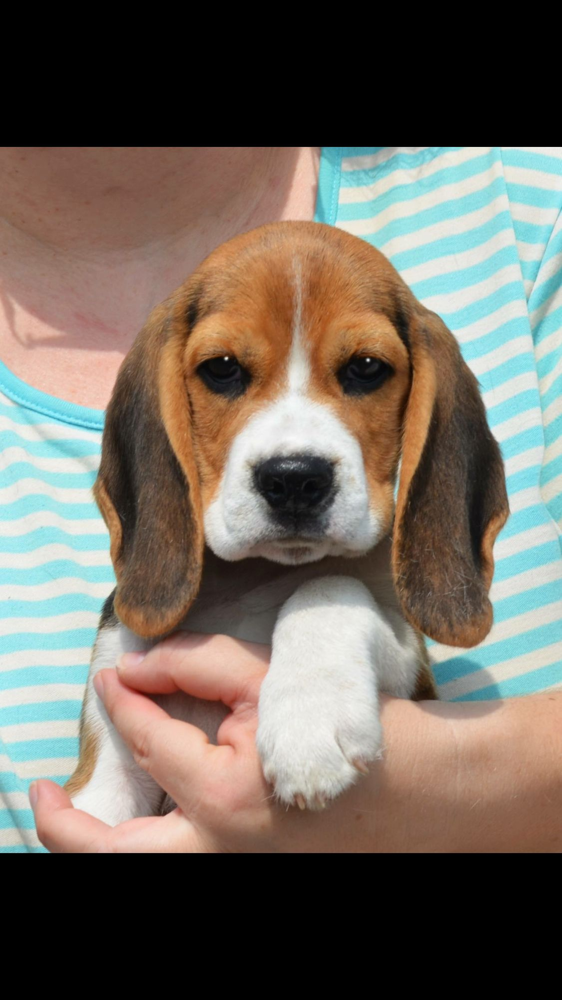 Precious Beagle puppy, Beagle, Puppies