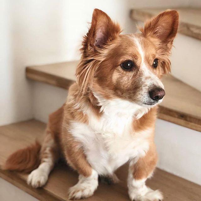 A Real Prince Fox Corgi Corgy Fox Dog Cutecorgy A Real Prince