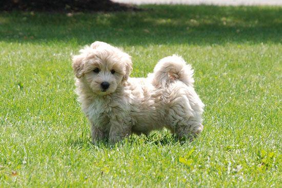 Coton Poo Puppy I Want I Want Puppies Furry Friend Coton De