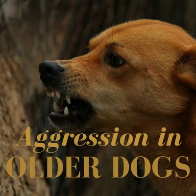How To Deal With Aggression In Older Dogs Dogs Aggressive Dog