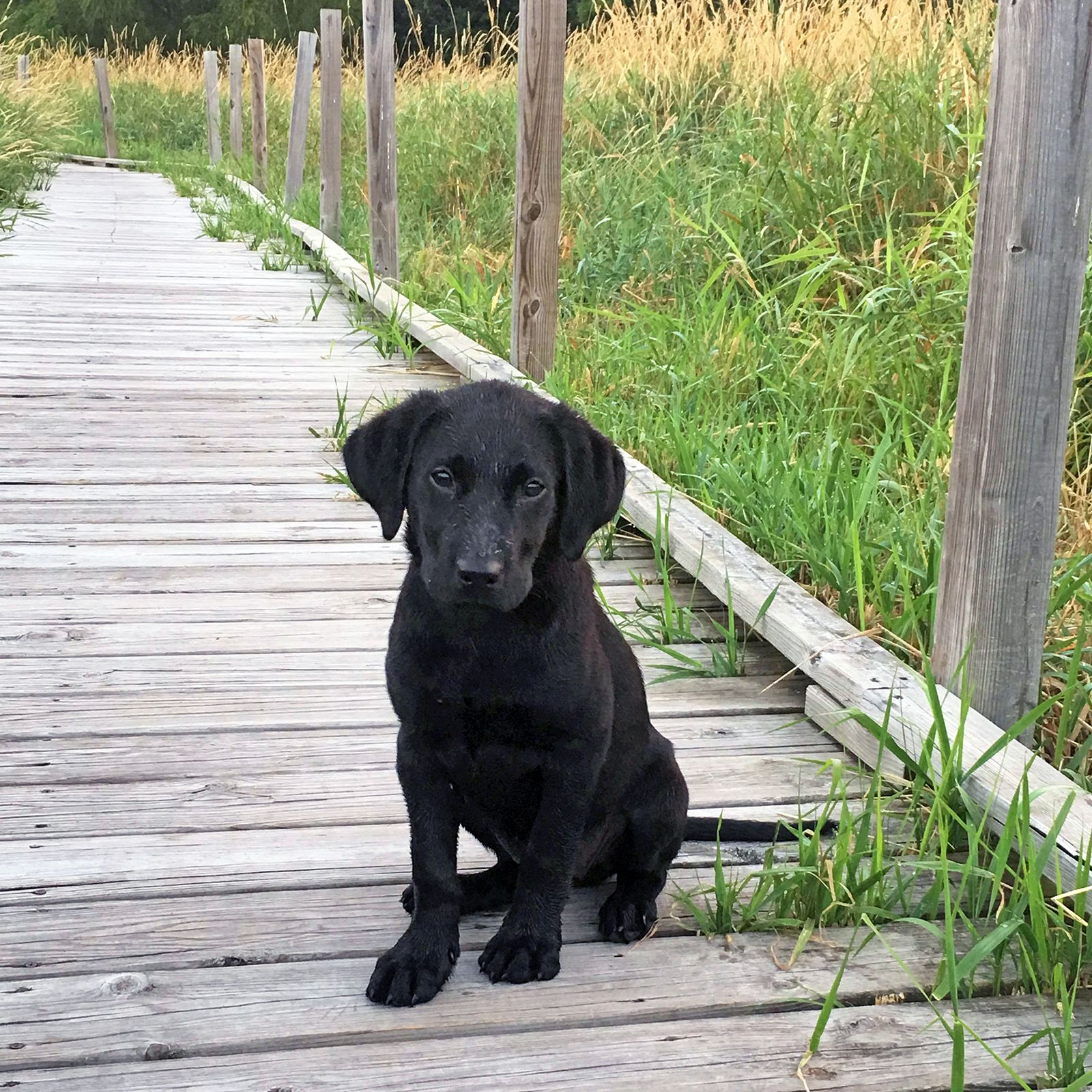This Adorable Black Lab Is Molly Hi Molly How Long Have You Been A